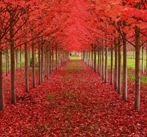 Tunel-de-arboles-de-Maple-en-oregon-estados-unidos